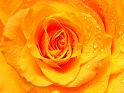 rose with water drops background