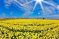 Solar spring day in fields buttercups
