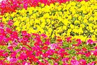 flower yellow pink