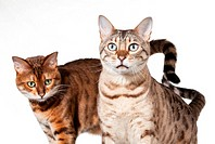 Two Bengal kittens looking shocked and staring