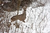 Rehwild Capreolus capreolus im winterlichen Wald _ Roe deer Capreolus capreolus in the winter forest