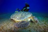 Taucherin mit Grüner Meeresschildkröte, Chelonia mydas, Ägypten, Rotes Meer,Scuba diver and green sea turtle, Aegypt, Red Sea