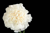 white carnation flower closeup