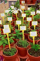 Pots of various species of fine herbs used for food flavouring