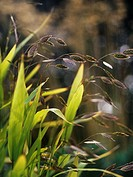Chasmanthium latifolium, Wood Oats, Northern sea oats