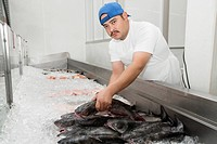 Portrait of young fishmonger arranging fish in ice at market