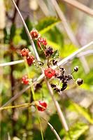 Yellow Himalayan raspberry (Rubus ellipticus), with thorns, invasive species, Big Island, Hawaii, USA