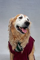 A golden retriever wearing a tie and sweater vest