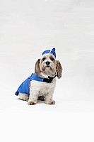 A Shorty Jack Russell Terrier wearing a retro air stewardess costume