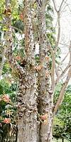 cannonball tree Couroupita guianensis