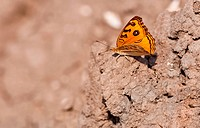 Peacock Pansy, Junonia almana, butterfly,dry mud,wings spread,ou
