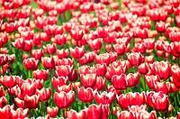 Tulips heads horizontal pattern