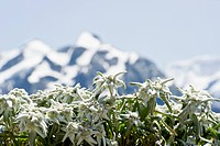 Edelweiss flowers in front of snow-capped mountains near Grindelwald, Bernese Oberland, Canton of Bern, Switzerland, Europe