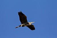 Grey Heron Ardea cinerea in flight, Germany