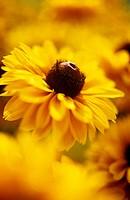 Rudbeckia hirta ´Indian Summer´, Coneflower, black_eyed Susan