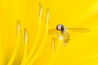 Marmalade Hover Fly on Daylily / Episyrphus balteatus, Hemerocallis spec. / day lily