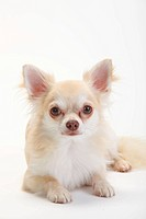 Chihuahua, longhaired, isabell