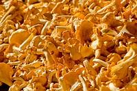 Yellow small mushrooms