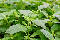 Fresh green basil1