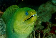 Giant Green Moray Eel