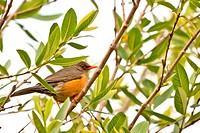 Small orange beak bird
