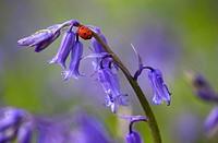 Seven-spot ladybird Coccinella 7-punctata on bluebells