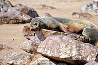 Cape fur seals, Arctocephalus pusillus,  Cape Cross, Skeleton Coast,  Namibia