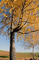 landscape with two golden birches