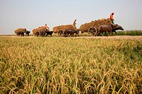 After harvesting farmers carrying paddy by bull carts form cultivation field to their home, Rajshahi district of Bangladesh Bull cart is only transpor...