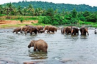 elephants take a bath in the river in the wilder