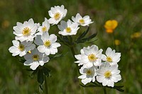 Narcissus-flowered Anemone (Anemone narcissiflora) Rosskogel, Rofan Mountains, Tyrol, Austria, Europe