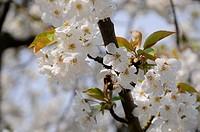 Blüten mit Hummel