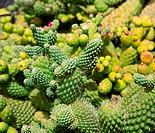 Lanzarote Guatiza cactus garden in Canary Islands