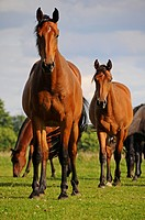Brown horses on a paddock, PublicGround