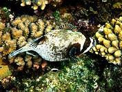 Masked puffer and coral