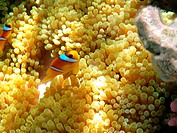 Sea anemones and two_banded clownfish