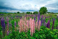 lupines on field under cloudy sky