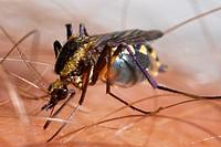 Mosquito sucking blood  Culex sp , Culicidae, Diptera  2012