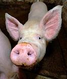 Pig, Galicia, Spain