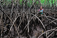 A Colombian woman walks through the dense maze of the trees while picking shellfish in the mangrove swamps on the Pacific coast, Colombia, 16 June 201...