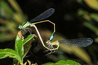 ´Wheel of Life´, Rambur´s Forktail Damselfly Ischnura ramburii Mating while on Wax Myrtle Myrica cerifera at Corolla, NC USA Outer Banks