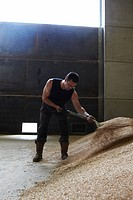 Farmer shoveling pile of grain