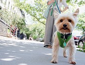 Woman walking with Yorkshire terrier