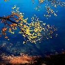 birch branch in autumn
