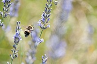Bumblebee flying among lavender flowers