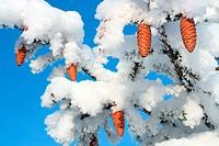 cones on christmas fir