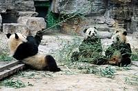Panda bears in Beijing Zoo, China
