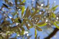 Close up of olive branch