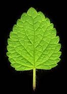 Close up of mint leaf