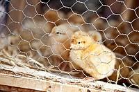 Spain, Mallorca, Sineu, Chicken in cage at market